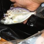 東海地方で釣れる美味しい魚と蟹で打線を組んでみた
