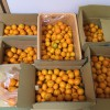 五ケ所湾ふるさとの会、みかん収穫祭に参加しました