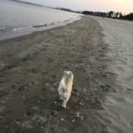 実家の犬_ショコラさんと海へ散歩に行きました