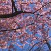 河津桜が満開のなばなの里へ行き、鯉について疑問に思う