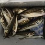 子どもも釣れます!マリンパーク熊野灘(海上釣り堀)で魚釣りしました