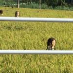 生首みたい…恐怖の田んぼ
