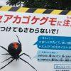セアカゴケグモを生まれて初めて見た話